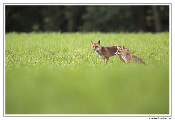 Photo Renard_66 (Renard roux -Vulpes vulpes - Red Fox)