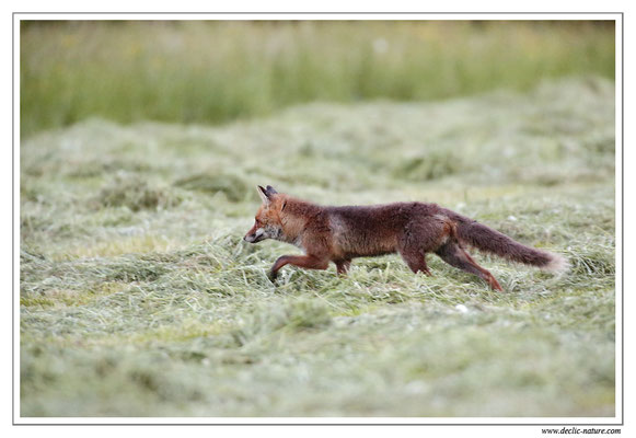 Photo Renard_48 (Renard roux -Vulpes vulpes - Red Fox)