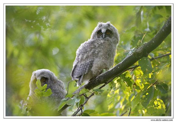 Photo 25 (Hibou moyen-duc - Asio otus - Long-eared Owl)
