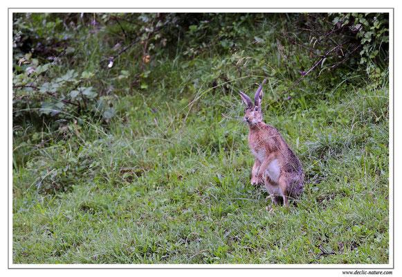 Lièvres - Lepus europaeus - Brown Hare (6)