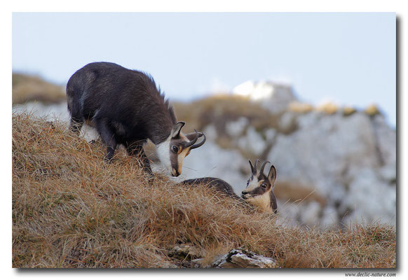 Photo Chamois_13 (Chamois - Rupicapra rupicapra )