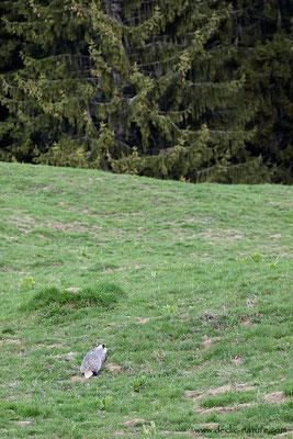 Photo_Blaireau_57 (Blaireaux - Meles meles - Eurasian Badger)