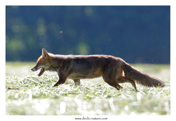 Photo Renard_171 (Renard roux -Vulpes vulpes - Red Fox)
