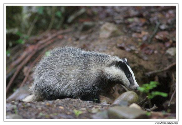 Photo_Blaireau_28 (Blaireaux - Meles meles - Eurasian Badger)
