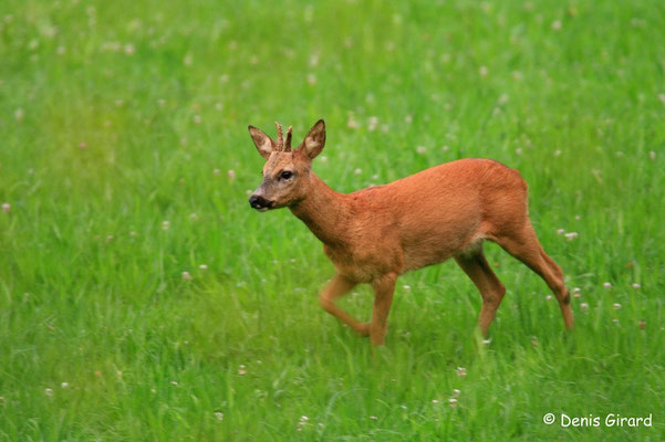 Photo Chevreuil_9 (Chevreuil - Capreolus capreolus - Roe Deer)