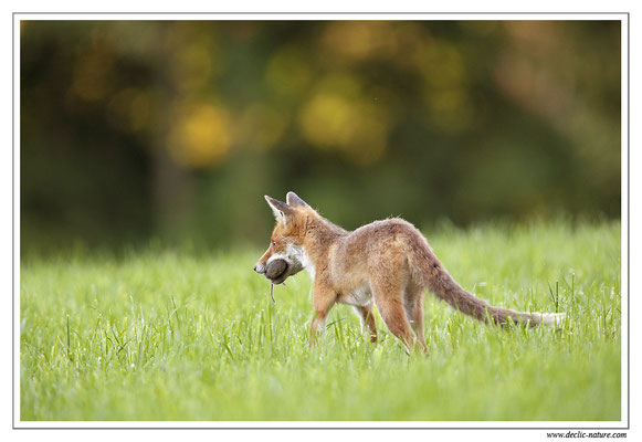 Photo Renard_60 (Renard roux -Vulpes vulpes - Red Fox)