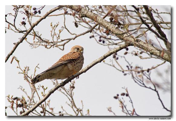 Photo 30 (Faucon crécerelle - Falco tinnunculus - Common Kestrel)