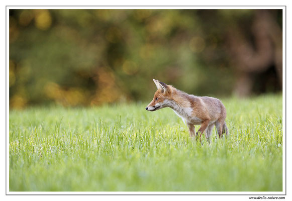 Photo Renard_65 (Renard roux -Vulpes vulpes - Red Fox)