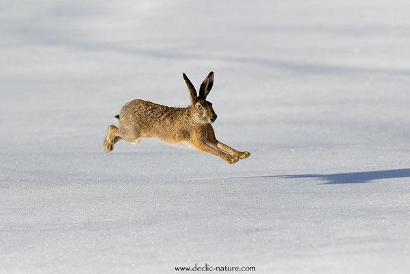 Lièvres - Lepus europaeus - Brown Hare (21)