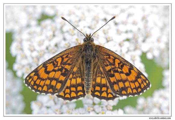 Mélitée des mélampyres - Mellicta athalia (14)