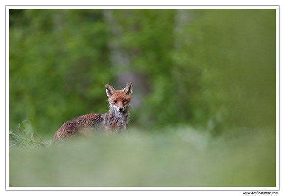 Photo Renard_85 (Renard roux -Vulpes vulpes - Red Fox)