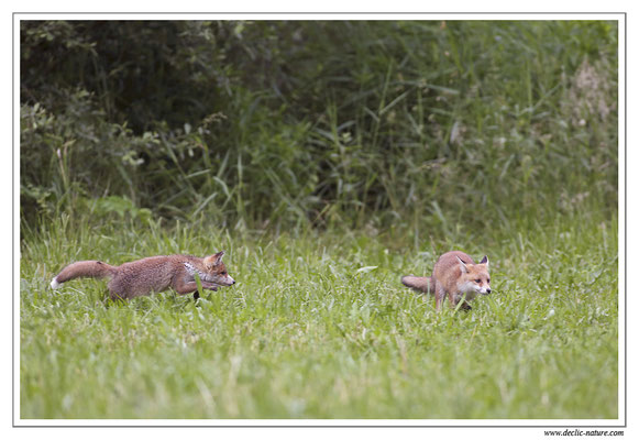 Photo Renard_57 (Renard roux -Vulpes vulpes - Red Fox)