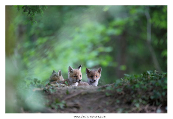 Photo Renard_128 (Renard roux -Vulpes vulpes - Red Fox)