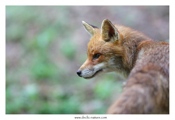 Photo Renard_170 (Renard roux -Vulpes vulpes - Red Fox)