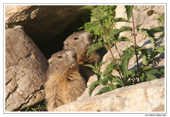 Photo Marmotte_M18