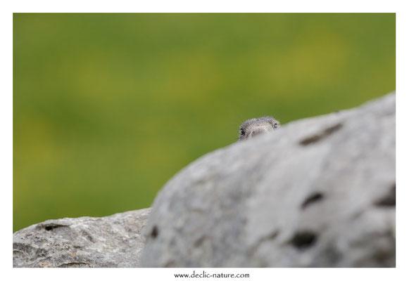 Photo Marmotte_50