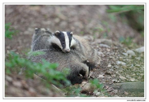 Photo_Blaireau_23 (Blaireaux - Meles meles - Eurasian Badger)