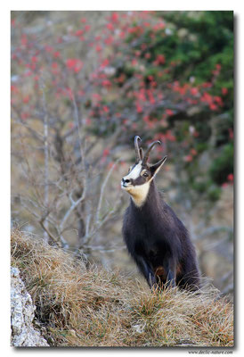Photo Chamois_19 (Chamois - Rupicapra rupicapra )