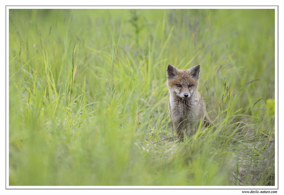 Photo Renard_50 (Renard roux -Vulpes vulpes - Red Fox)