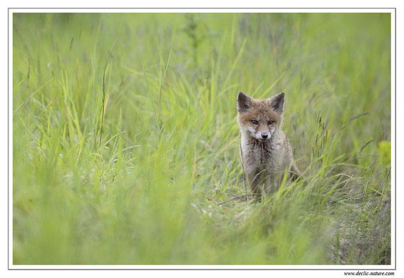 Photo Renard_50 (Renard roux -Vulpes vulpes - Red Fox)