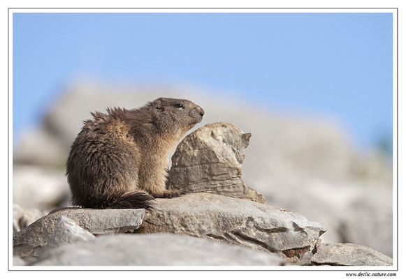 Photo Marmotte_24
