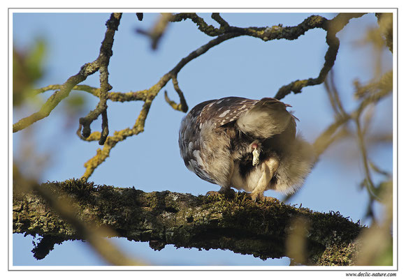 Photo 8 (Hibou moyen-duc - Asio otus - Long-eared Owl)