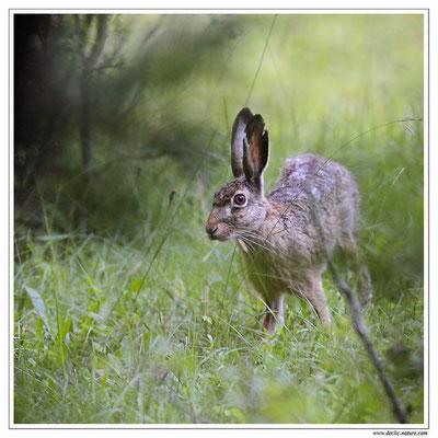 Lièvres - Lepus europaeus - Brown Hare (1)