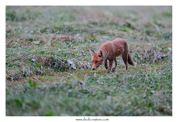 Photo Renard_163 (Renard roux -Vulpes vulpes - Red Fox)