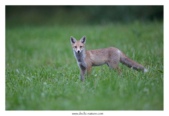 Photo Renard_149 (Renard roux -Vulpes vulpes - Red Fox)