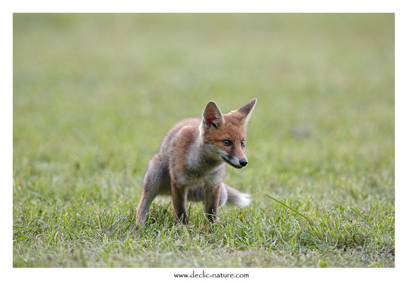 Photo Renard_152 (Renard roux -Vulpes vulpes - Red Fox)