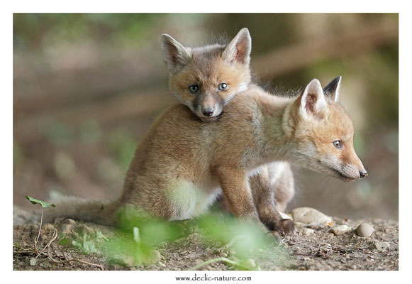 Photo Renard_116 (Renard roux -Vulpes vulpes - Red Fox)