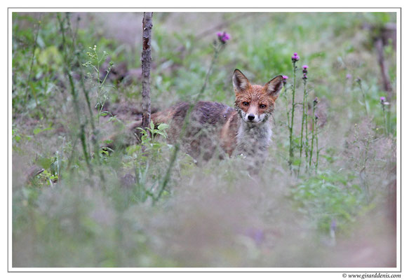 Photo Renard_11 (Renard roux -Vulpes vulpes - Red Fox)