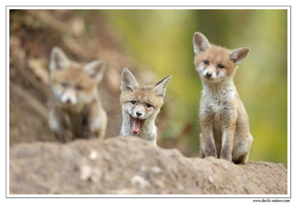 Photo Renard_93 (Renard roux -Vulpes vulpes - Red Fox)