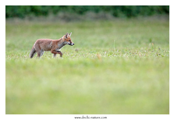 Photo Renard_155 (Renard roux -Vulpes vulpes - Red Fox)