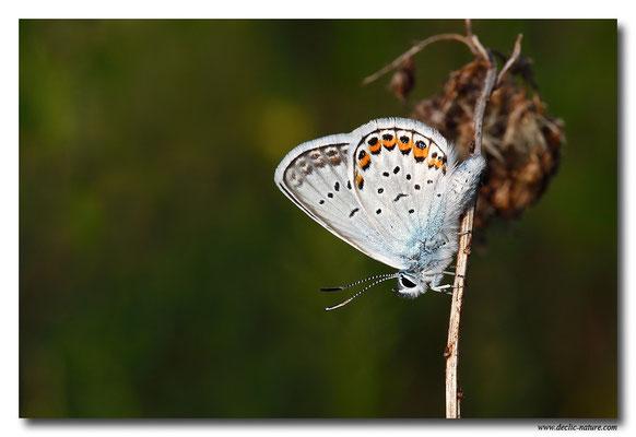 Azuré espèce - Plebejus sp. (2)