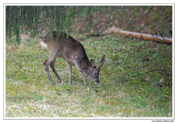 Photo Chevreuil_111 (Chevreuil - Capreolus capreolus - Roe Deer)