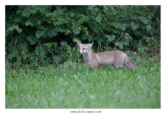 Photo Renard_147 (Renard roux -Vulpes vulpes - Red Fox)