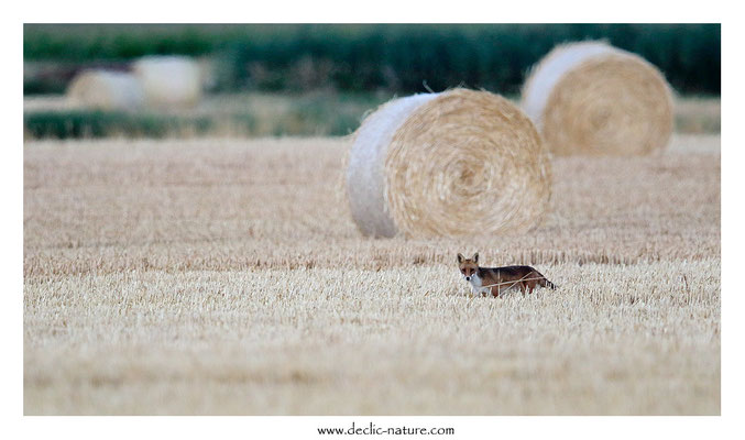 Photo Renard_184 (Renard roux -Vulpes vulpes - Red Fox)