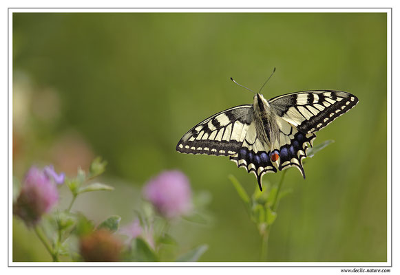 Machaon - Papilio machaon (6)