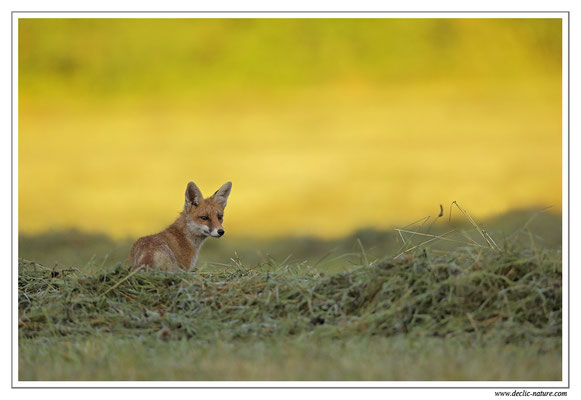 Photo Renard_68 (Renard roux -Vulpes vulpes - Red Fox)