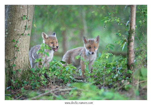 Photo Renard_124 (Renard roux -Vulpes vulpes - Red Fox)