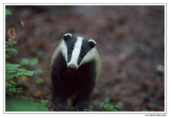 Photo_Blaireau_18 (Blaireaux - Meles meles - Eurasian Badger)