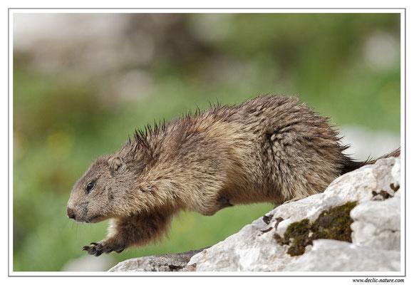 Photo Marmotte_18