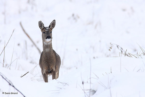 Photo Chevreuil_36 (Chevreuil - Capreolus capreolus - Roe Deer)
