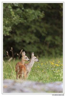 Photo Chevreuil_77 (Chevreuil - Capreolus capreolus - Roe Deer)