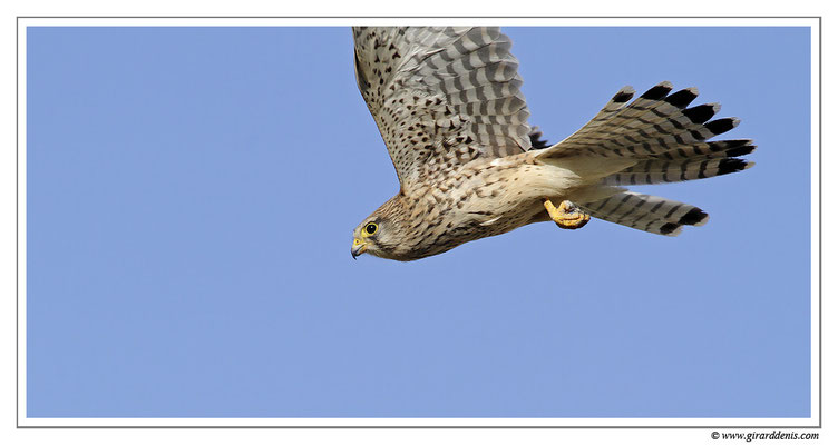 Photo 8 (Faucon crécerelle - Falco tinnunculus - Common Kestrel)