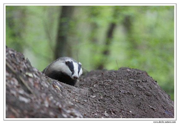 Photo_Blaireau_45 (Blaireaux - Meles meles - Eurasian Badger)