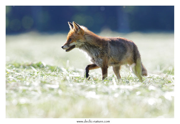 Photo Renard_172 (Renard roux -Vulpes vulpes - Red Fox)