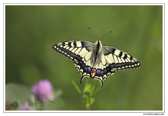 Machaon - Papilio machaon (5)