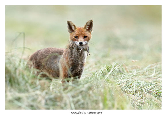 Photo Renard_204 (Renard roux -Vulpes vulpes - Red Fox)